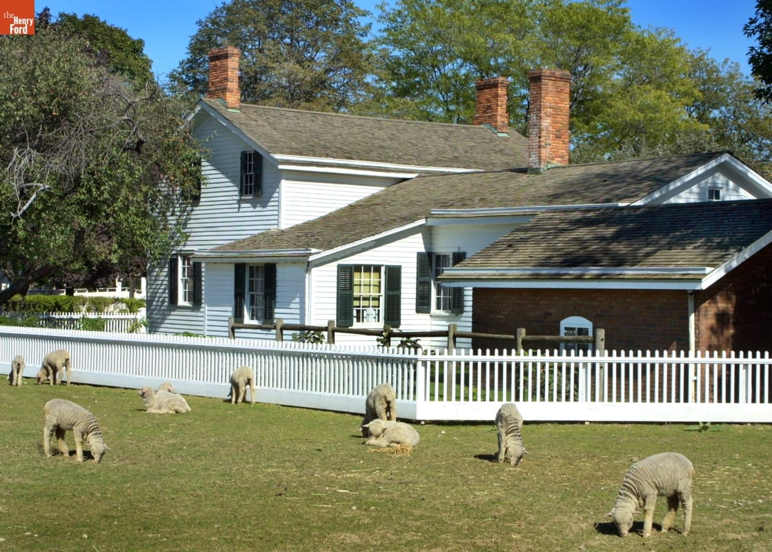 Sheep graze on a grass lawn with a white house surrounded by a white picket fence in the background