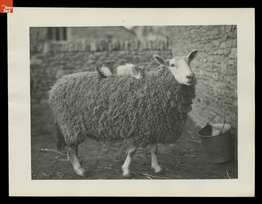 White and striped cat lying on top of a wooly sheep in a yard enclosed by a stone wall