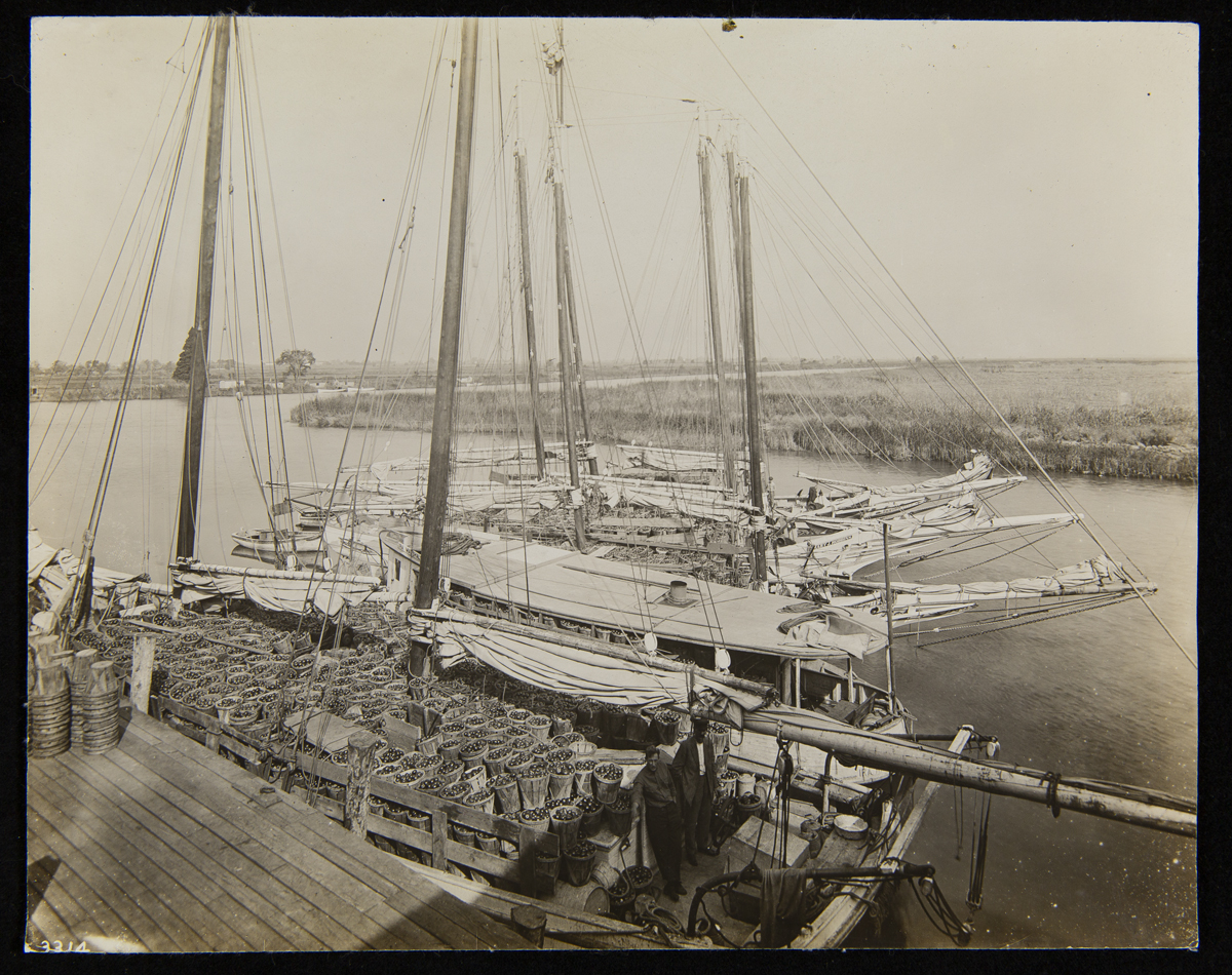 Several sailboats at dock, all filled with baskets of tomatoes