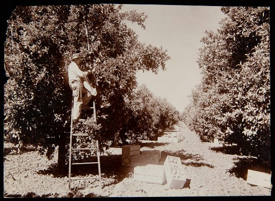 Man on ladder by tree in grove of trees; crates filled with grapefruit on ground nearby