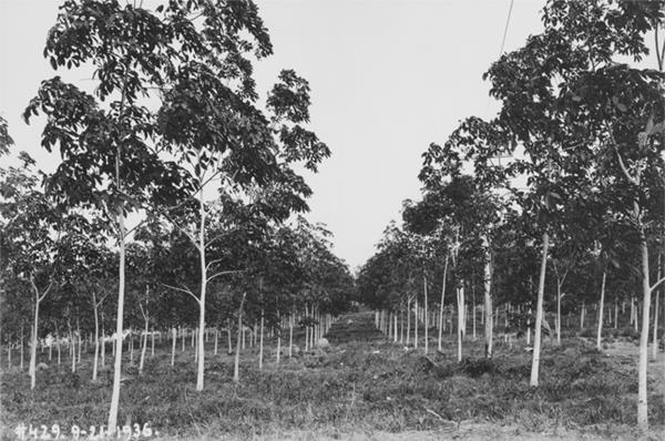 Brazilian Rubber Plantations