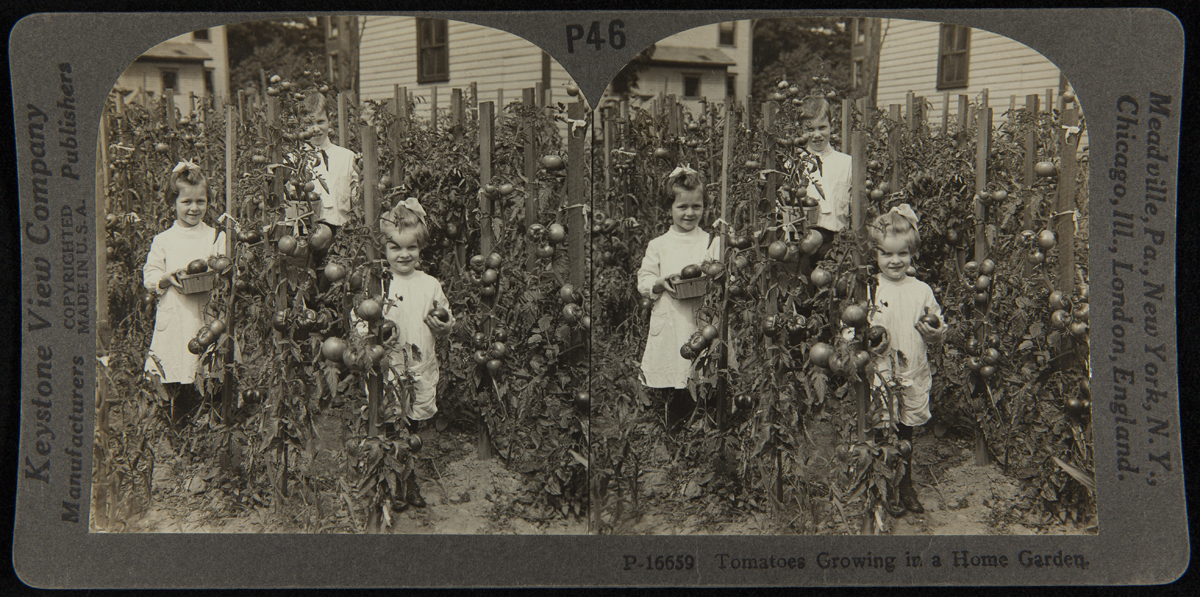Double image showing two young girls and a boy among staked tomato plants
